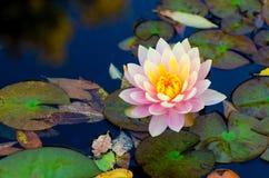 Fiore di loto rosa molle Fotografia Stock