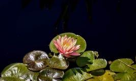 Fiore di loto rosa sullo stagno immagini stock