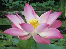 Fiore di loto sbocciante Fotografia Stock