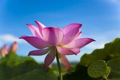 Fiore di loto sotto cielo blu Fotografia Stock Libera da Diritti