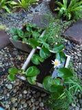 Fiore di loto in stagno Fotografia Stock