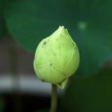 Fiore di loto verde Immagini Stock Libere da Diritti