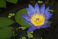 Fiore di loto viola Fotografia Stock Libera da Diritti