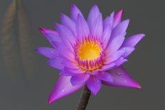 Fiore di loto viola. Immagini Stock