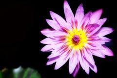 Fiore di loto viola Immagini Stock Libere da Diritti