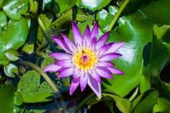 Fiore di loto viola Immagine Stock Libera da Diritti
