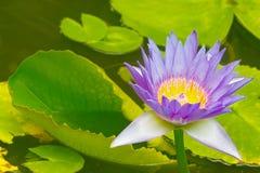 Fiore di loto viola Fotografie Stock