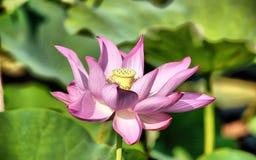 Lotus Flower Fotografia Stock Libera da Diritti