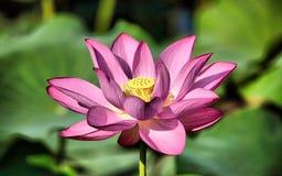 Lotus Flower Fotografia Stock