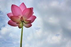 Fiore di Lotus immagine stock
