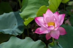 Fiore di Lotus Fotografie Stock