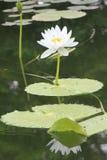 Fiore di Lotus alla Tailandia Immagini Stock