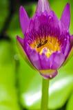Fiore di Lotus con le api Fotografie Stock Libere da Diritti