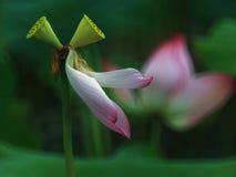 Fiore di Lotus con lo stame gemellato Immagini Stock