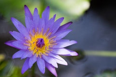 Fiore di Lotus e piante del fiore di Lotus Fotografia Stock Libera da Diritti