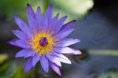 Fiore di Lotus e piante del fiore di Lotus Immagine Stock