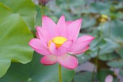 Fiore di Lotus e piante del fiore di Lotus Fotografie Stock Libere da Diritti