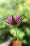 Fiore di Lotus, fiori tailandesi Immagini Stock