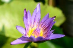 Fiore di Lotus, fuoco su Gaysorn Fotografia Stock