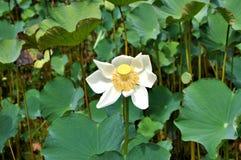 Fiore di Lotus, Mauritius Fotografia Stock Libera da Diritti