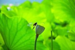 Fiore di Lotus nello stagno Fotografia Stock Libera da Diritti