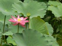 Fiore di Lotus [nelumbo nucifera] Immagini Stock Libere da Diritti