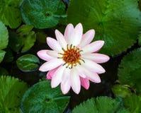 Fiore di Lotus per il fondo di progettazione Immagine Stock