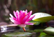 Fiore di Lotus rosa Immagini Stock