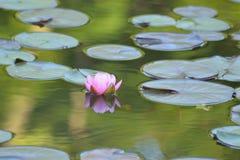 Fiore di Lotus rosa giapponese in stagno con la riflessione immagini stock libere da diritti
