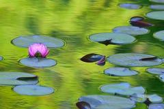 Fiore di Lotus rosa giapponese in stagno con la riflessione fotografie stock