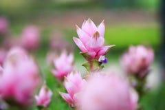 Fiore di Lotus di rosa di KraJeow soltanto in Tailandia fotografia stock libera da diritti