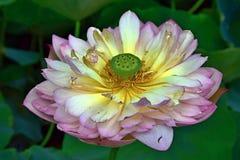 Fiore di Lotus - simbolo di bellezza e di purezza divine fotografie stock