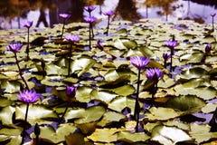 Fiore di Lotus, simbolo di tranquillità fotografia stock libera da diritti
