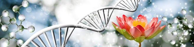 Fiore di Lotus sul primo piano a catena del fondo del DNA immagine stock