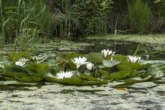 Fiore di Lotus sull'acqua Fotografia Stock Libera da Diritti