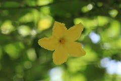 Fiore di luffa Fotografie Stock