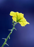 Fiore di Luffa Fotografia Stock