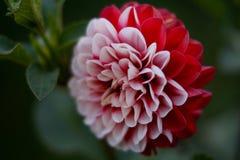Fiore di macro della dalia Fotografie Stock Libere da Diritti