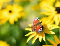 Fiore di macro della farfalla di pavone Fotografie Stock