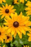 Fiore di margherita gialla Fotografie Stock