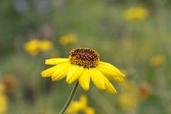 Fiore di margherita gialla di vista laterale in prato fotografia stock