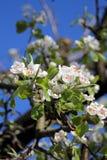 Fiore di melo Fotografie Stock