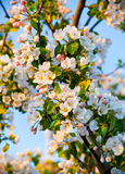 Fiore di melo Immagini Stock