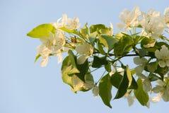 Fiore di melo Immagine Stock Libera da Diritti