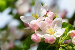 Fiore di melo Immagine Stock