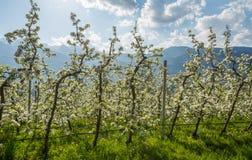 Fiore di melo Meleti nel tempo di primavera nella campagna non della valle Val di Non, Trentino Alto Adige, AIS nordico fotografia stock libera da diritti
