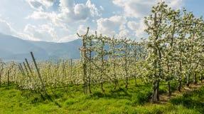Fiore di melo Meleti nel tempo di primavera nella campagna non della valle Val di Non, Trentino Alto Adige, AIS nordico immagini stock