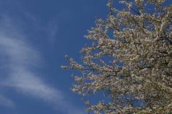 Fiore di di melo su un chiaro cielo blu fotografie stock