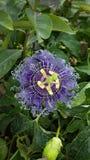 Fiore di meraviglia Immagini Stock