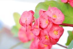Fiore di Milii dell'euforbia fotografia stock libera da diritti